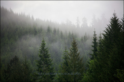A fog shrouding the old growth.
