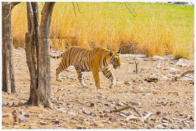 T-28 Star Male Tiger out for a morning walk in the meadows - Ranthambhore National Park, Rajasthan