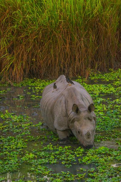 Rhino In Swamp At Twilight Kaziranga National Park, Assam, North-Eastern India