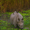 Rhino In Swamp At Twilight Kaziranga National Park, Assam, North-Eastern India
