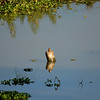 _DJ34233 Kaziranga National Park, Assam, North-Eastern India