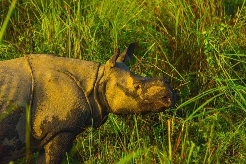 First Morning Light Shines On Rhino Face Kaziranga National Park, Assam, North-Eastern India
