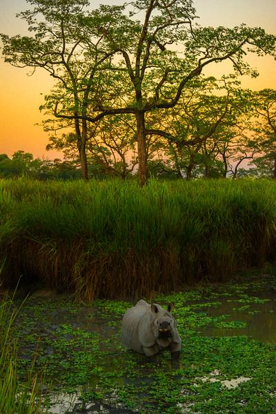 Rhino Looking Up At Me Near Dusk Kaziranga National Park, Assam, North-Eastern India