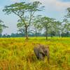 Kaziranga National Park And Baby Elephant Kaziranga National Park, Assam, North-Eastern India