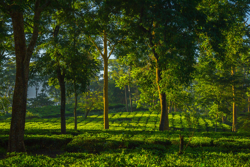 First Light In The Tea Fields Kaziranga National Park, Assam, North-Eastern India
