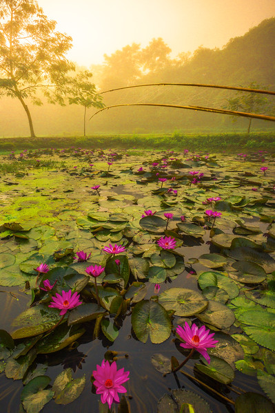 A Swing Path Of Lilies In Morning Mist Kaziranga National Park, Assam, North-Eastern India