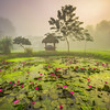 Liily Pond in Early Morning Mist Kaziranga National Park, Assam, North-Eastern India