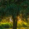 Sunstar Through The Solo Tree Kaziranga National Park, Assam, North-Eastern India