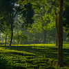 Side Light Entering Into The Tea Fields Kaziranga National Park, Assam, North-Eastern India