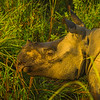In Close With The One-Horned Rhino Kaziranga National Park, Assam, North-Eastern India