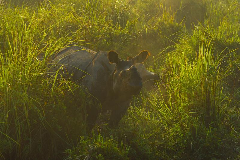 Amidst The High Grass Kaziranga National Park, Assam, North-Eastern India