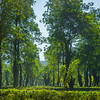 The Tea Fields Of India Kaziranga National Park, Assam, North-Eastern India