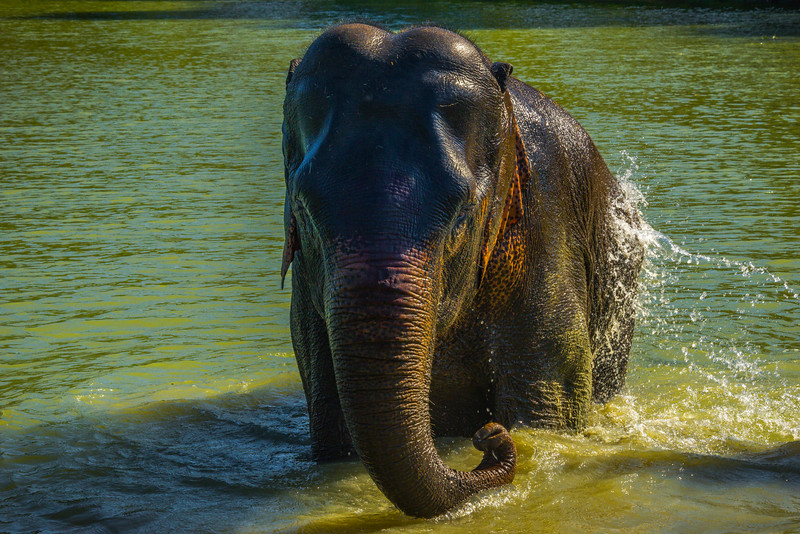 The Elephant Giving Itself A Bath Kaziranga National Park, Assam, North-Eastern India