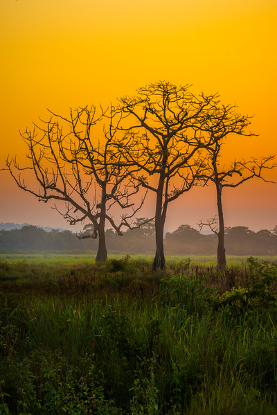 The Bare Bone Silhouette Of The Tree Kaziranga National Park, Assam, North-Eastern India
