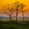 The Bare Bone Silhouette Of The Tree Kaziranga National Park, Assam, North-Eastern India
