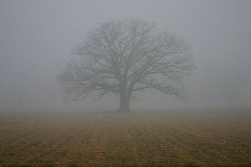 Oak tree in fog, Porter County, Indiana, February 2005.