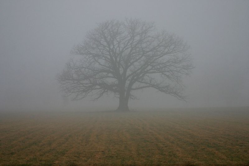 Oak tree in fog, Porter County, Indiana, February 2005.