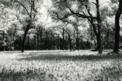 Texas Bluebonnets in Infrared
