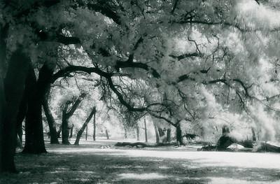 Oaks on Forrester