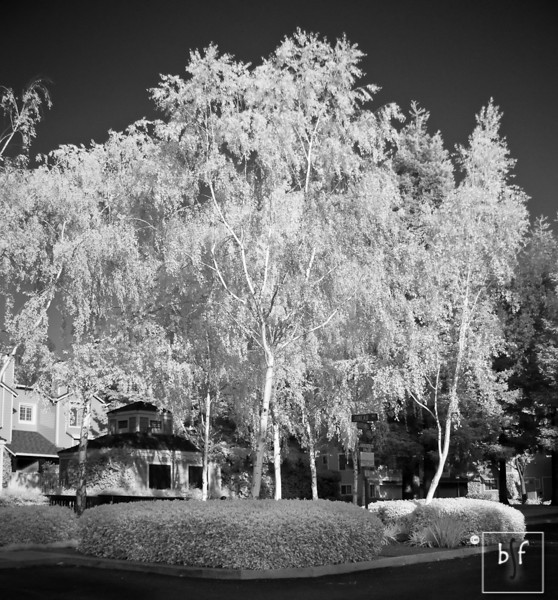 Birch trees at the front of the complex. It looks like we've just had a dusting of snow!