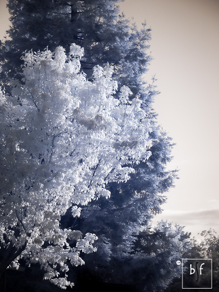 Different variety of trees produce unexpected color when shooting infrared. The pear tree in the foreground and the pine tree in the background are both green but they produced drastically different colors when shot in infrared.