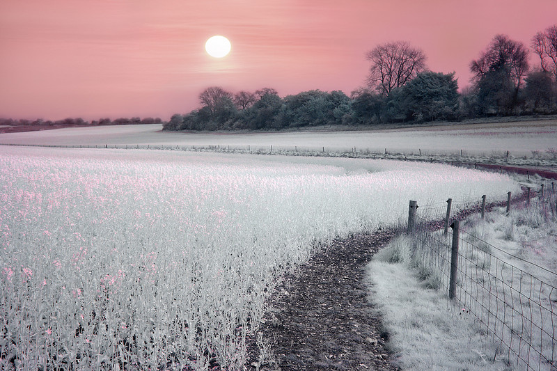 Rape Field at Dawn, Hampshire