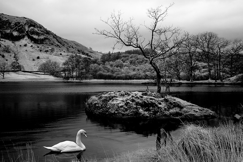 Buttermere Swan, Cockermouth, Cumbria.