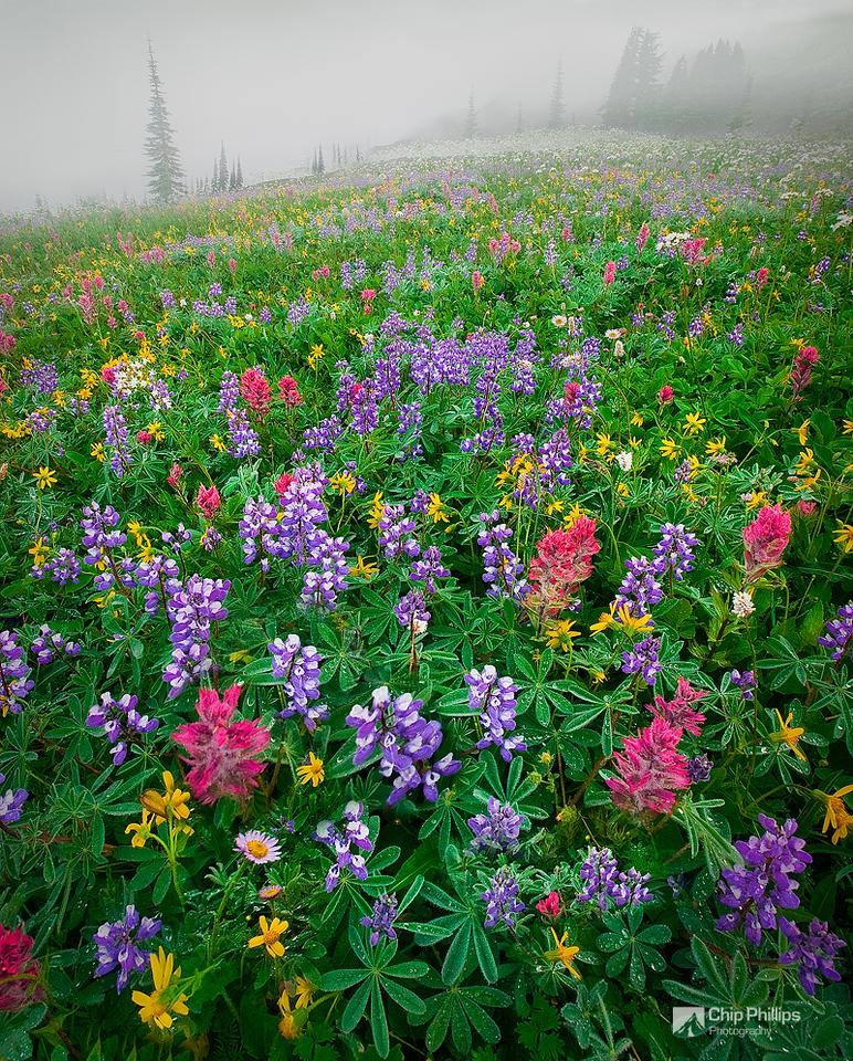 """Mount Rainier Wildflowers""  An amazingly pristine wildflower field shot through morning mist. Paradise Meadows, Mount Rainier National Park"