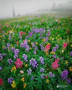 """Mount Rainier Wildflowers""  An amazingly pristine wildflower field shot through morning mist. Paradise Meadows, Mount Rainier National Park"
