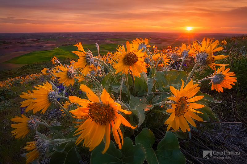"""Palouse Balsamroot""