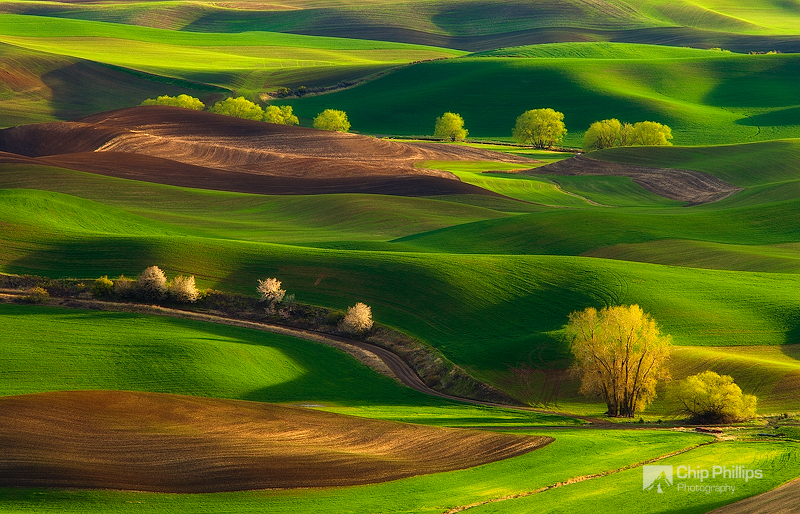 """""""Palouse HIlls Spring #1""""  Cottonwood trees nestled in the rolling hills of the Palouse during spring."""