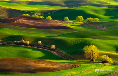"""Palouse HIlls Spring #1""  Cottonwood trees nestled in the rolling hills of the Palouse during spring."