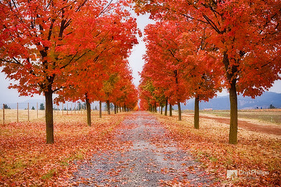 """Tree Lined Road""  A beautiful row of trees during fall in Greenbluff, near Spokane."