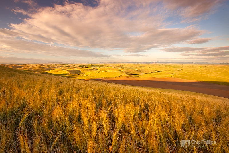 """""""Summer Wheat Palouse""""  Golden wheat just before harvest.  Shot from the base of Steptoe Butte in the Palouse region of Washington State."""