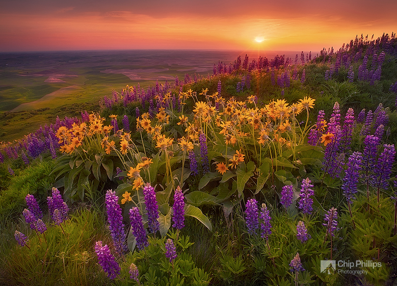"""""""Field of Flowers, Palouse""""  A beautiful field of spring wildflowers shot at sunset from Steptoe Butte in the Palouse region of Washington State."""