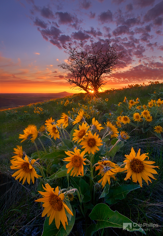 """""""Balsam Root and Tree at Sunset Palouse""""  Spring wildflowers in the Palouse at sunset The small peak in the distance is Steptoe Butte."""