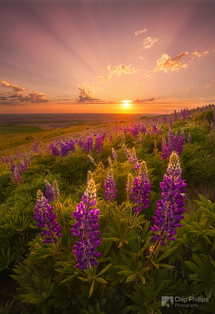 """Palouse Lupine Rays""  Wildflowers and crepuscular rays seen from the foothills of Steptoe Butte. Palouse, eastern Washington State"
