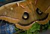 _MG_8778 moth
