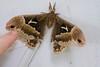 _MG_9776 moth