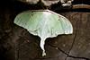 IMG_1509 2 big green moth