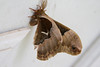 _MG_9775 2 moth