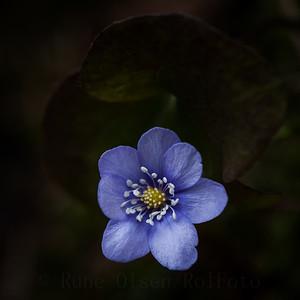 Vårblå