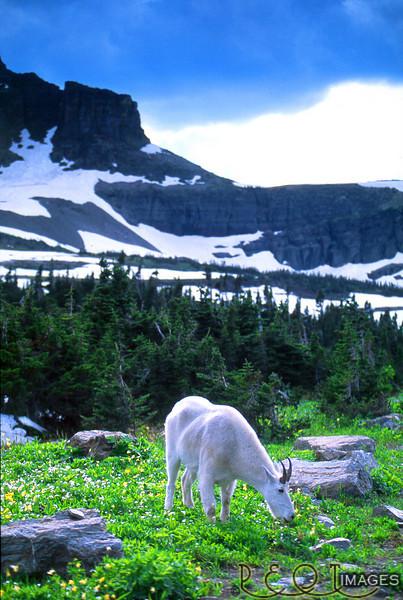 Goat at Glacier for print