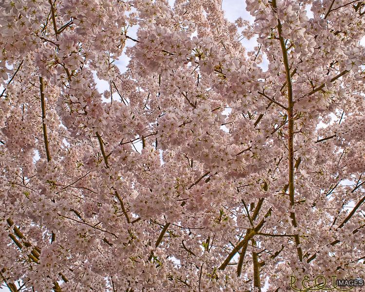 Cherry Tree 4 L A