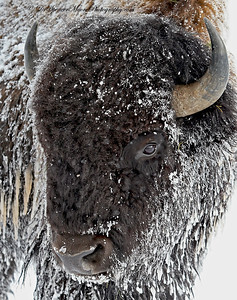 Winter Buffalo Yellowstone NP