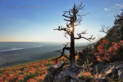 The Old Cedar Tree On Mount Magazine, Arkansas