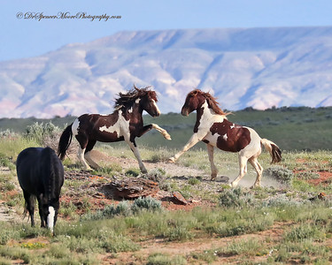 Wild Mustangs, Cody Wyoming