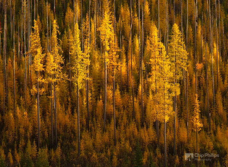 """""""Sherman Pass Larch""""  These larch trees appeared to be suspended in mid air.  Shot at sunset from Sherman Pass, WA."""