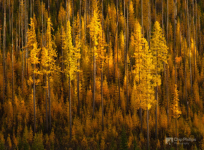 """Sherman Pass Larch""  These larch trees appeared to be suspended in mid air.  Shot at sunset from Sherman Pass, WA."