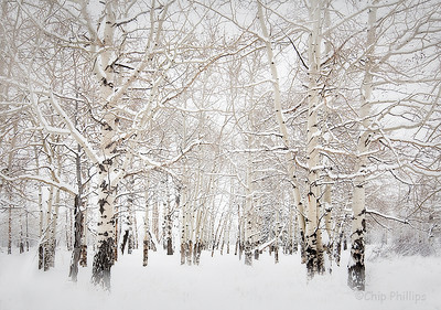 """Aspens in the Snow""  After record snowfall, I shot these aspens covered in snow in Grand Teton National Park, Wyoming."